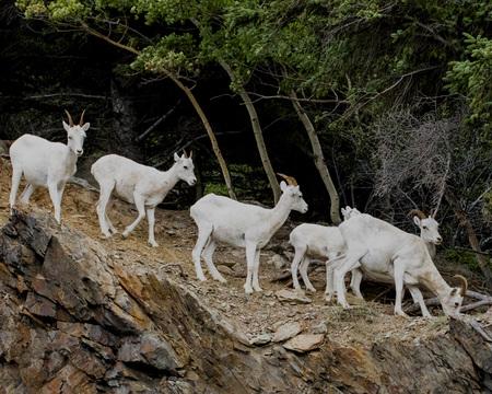 Dall Sheep family on a rocky slope Stok Fotoğraf