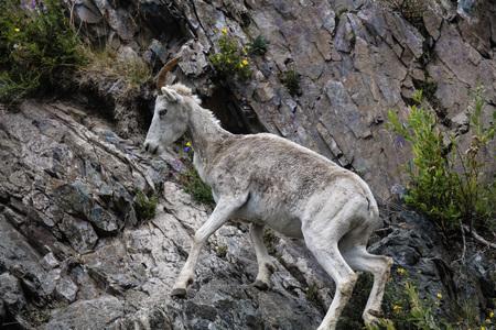 Dall Sheep on a rocky slope Stok Fotoğraf
