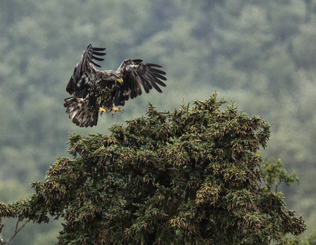 Juvenile Bald Eagle about to land on a tree