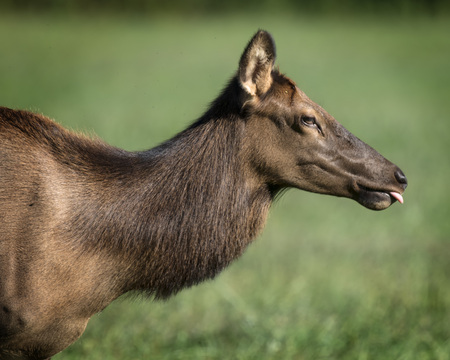 Elk sticking her tongue out