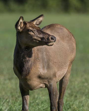 Elk female calling to her family 版權商用圖片