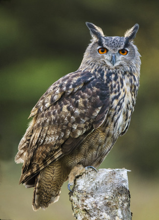 Eurasian Eagle Owl on a perch