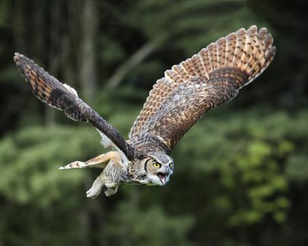 Great Horned Owl in flight mouth open