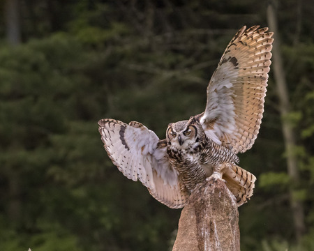 Great Horned Owl has landed on his perch