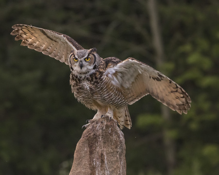 Great Horned Owl perched with his wings out