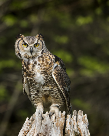 Great Horned Owl on his perch