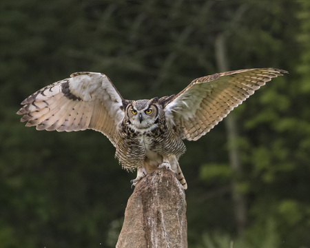 Great Horned Owl landing on perch