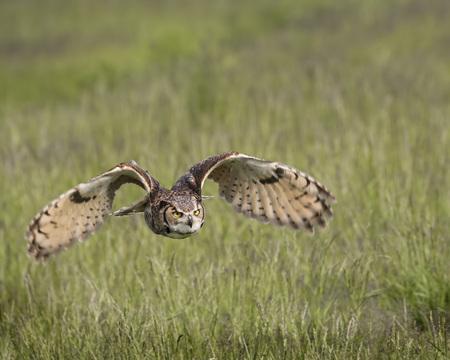 Great Horned Owl in flight Stock Photo - 100614153