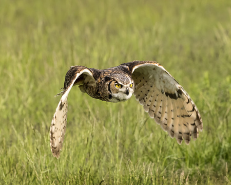 Great Horned Owl Adult in flight