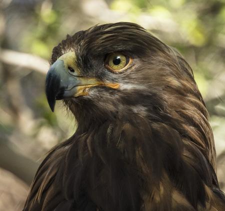 Golden Eagle close up Stock Photo