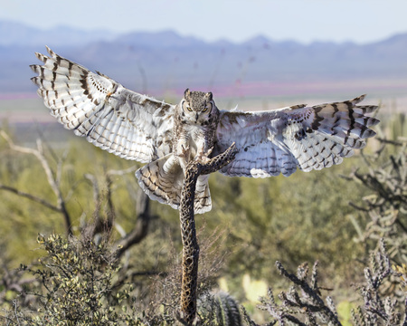 Great Horned Owl reaching for the treat on the cactus skeleton