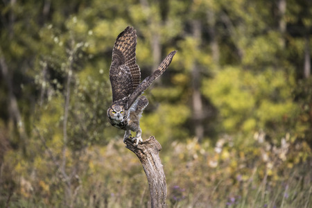 Great Horned Owl poised for take off