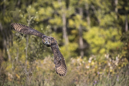 Great Horned Owl banking in flight