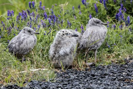 Mew Gull babies by the side of the road