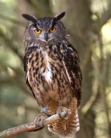 Indonesian Eagle Owl staring at camera