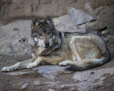 Mexican Grey Wolf Stock Photo