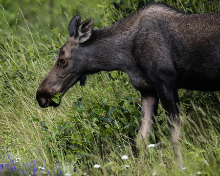 Fenale moose munching the grass