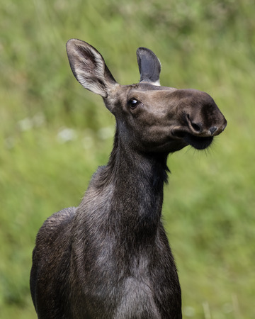 Female moose threatening to charge