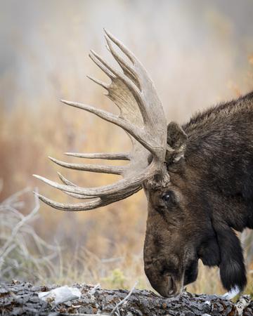 Bull Moose sniffing the log Stockfoto