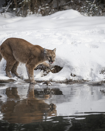 Mountain Lion shaking snow off her paw
