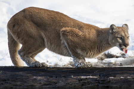 Mountain Lion sticking her tongue out