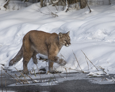 Mountain Lion shaking the snow off her paw