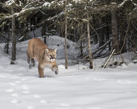 Mountain Lion coming out of the woods