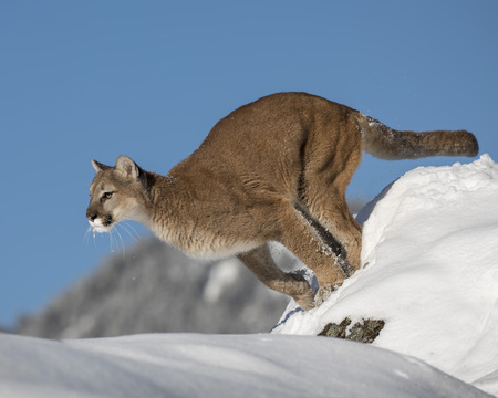 Leone di montagna che salta fuori da una collina nevosa