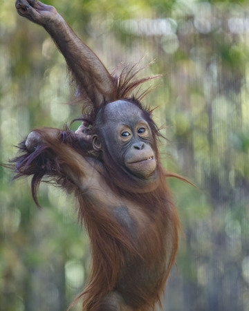 Orangutan youngster showing off