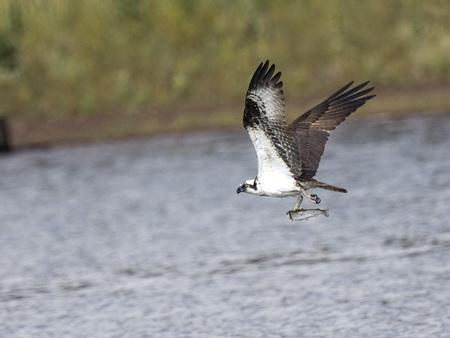 Osprey has caught a fish