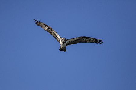 Osprey in flight over head