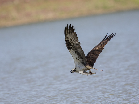 Osprey carrying a fish Stock Photo