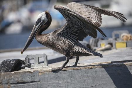Brown Pelican balancing on the wharf