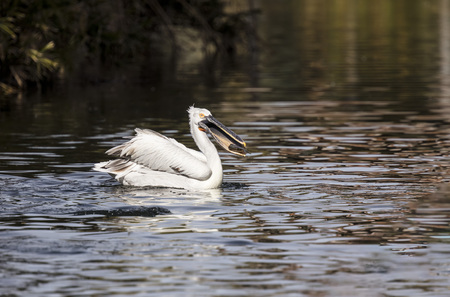 American White Pelican floating on the lake Banco de Imagens