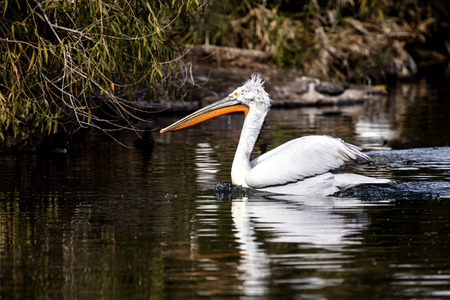 American White Pelican floating on the lake Banco de Imagens - 100924657