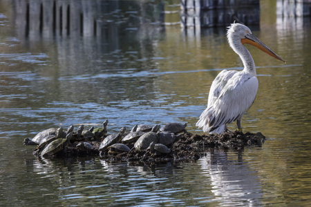 American White Pelican with a raft of turtles
