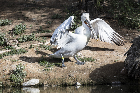 American White Pelican spreading his wings