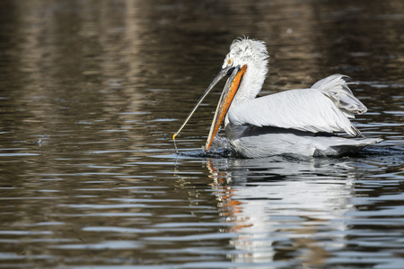 American White Pelican floating on the lake Banco de Imagens - 100924662