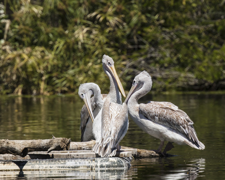 American White Pelicans having a discussion