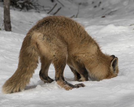 Red Fox digging in the snow Stock Photo