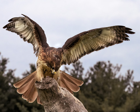 Red Tailed Hawk landing on a stump