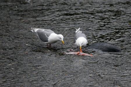 Sea gulls eating scraps of salmon