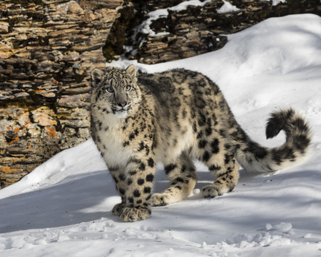 Snow Leopard Cub playing in the snow