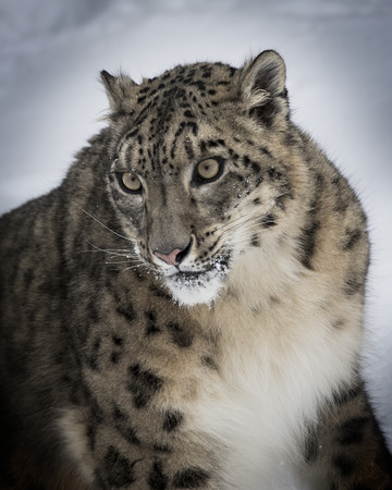 Snow Leopard close up head and shoulders