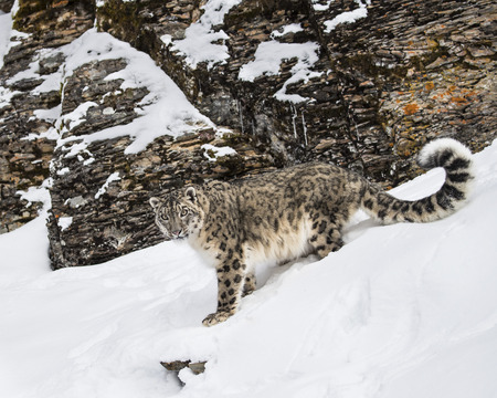 Snow Leopard against the rocks nd snow