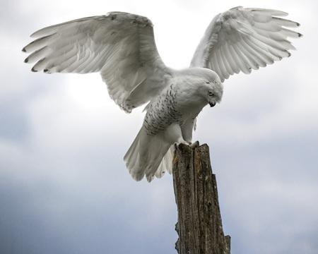 Sneeuwuil die op zijn zitstok landt met zijn vleugels uitgespreid