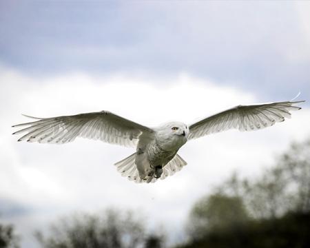 Snowy Owl on angel wings