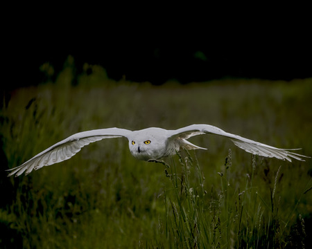Snowy Owl in silent flight