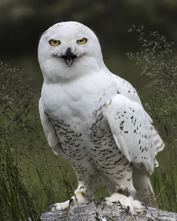 Snowy Owl smiling for the camera