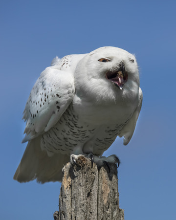 Snowy Owl eating a chicken foot